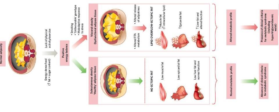 כיצד מבחינים בין רקמת שומן תקינה למסוכנת?