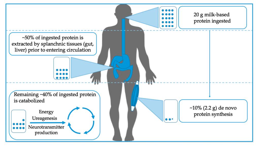 צריכת חלבון לאחר אימון וכמות החלבון הנחוצה להיפרטרופיה